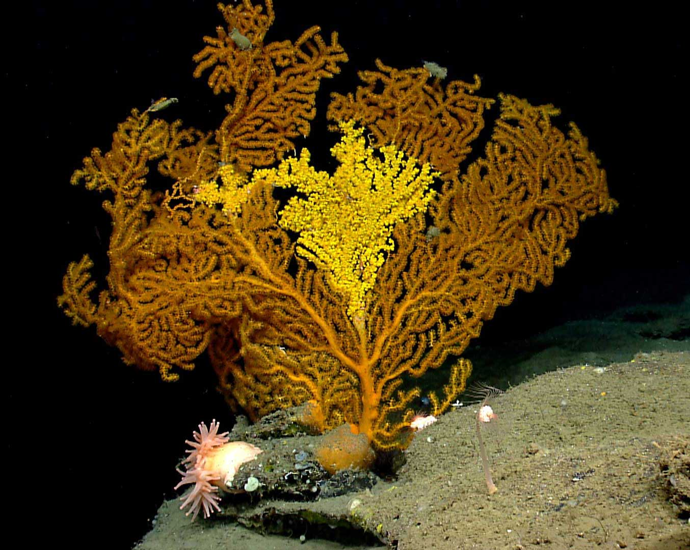 Deep-sea coral (NOAA)
