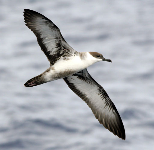 Greater shearwater (Credit: Patrick Coin)