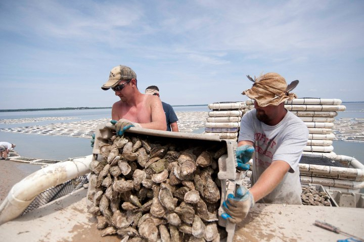 Maryland oyster farming (Maryland Sea Grant)
