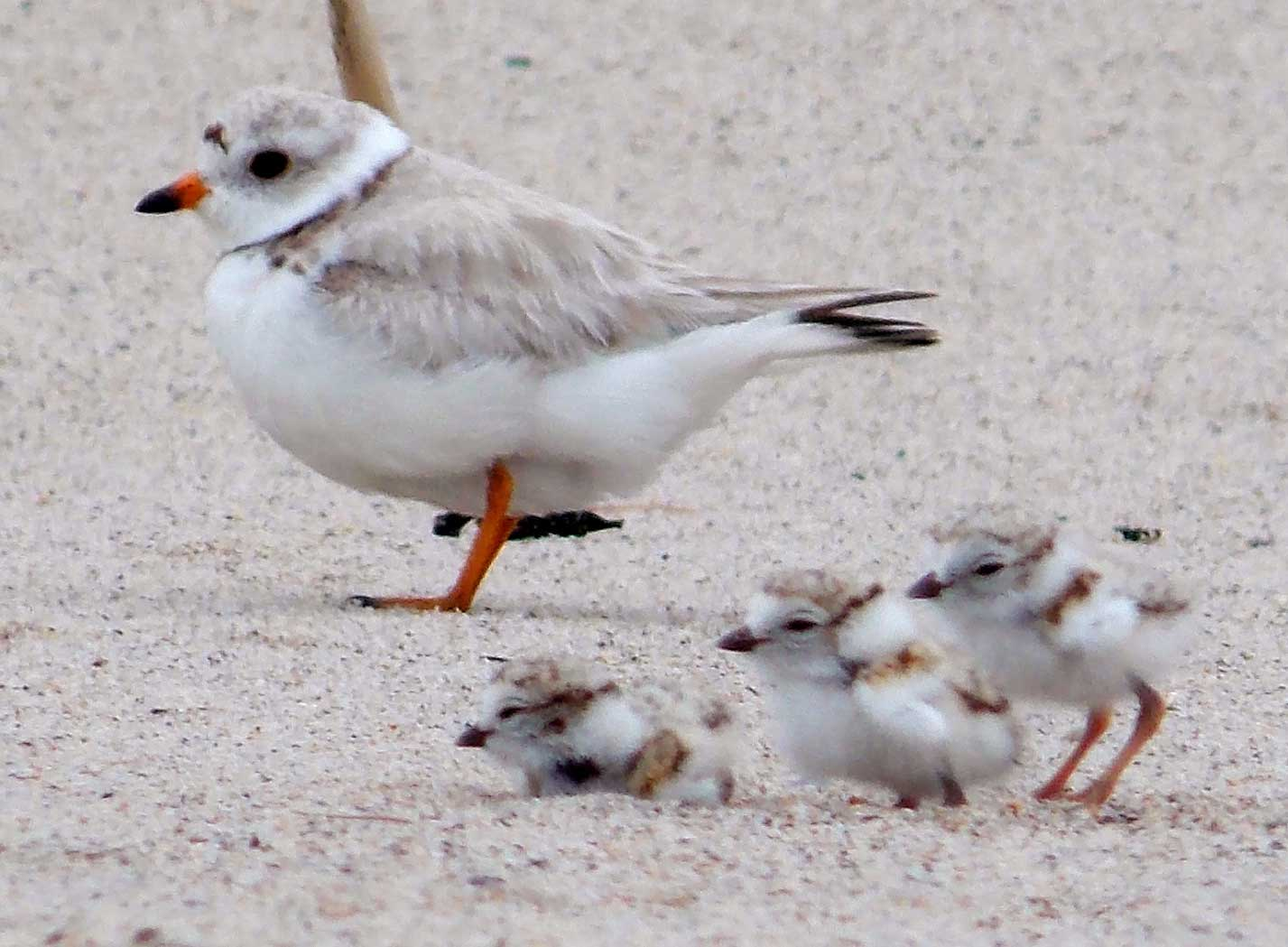 Piping plover and chicks (Credit: Kaiti Titherington/USFWS)