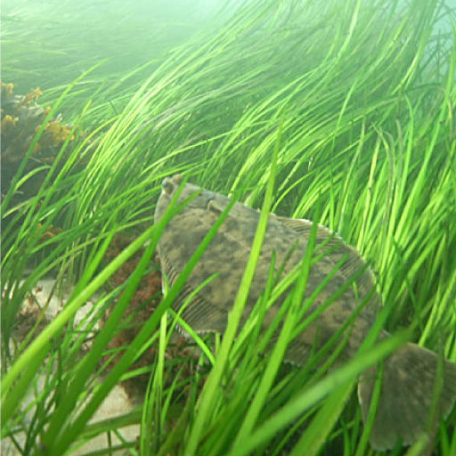 Winter flounder in eelgrass (Credit: NOAA)